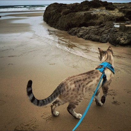 Cheetoh Cat on the Beach